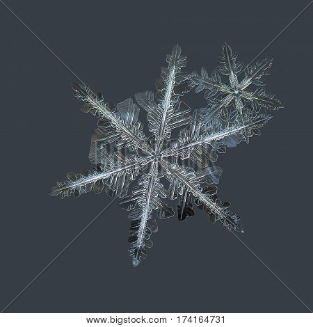 Macro photo of real snowflakes: two stellar dendrite snow crystals in flat cluster, with complex structure and ornate arms, glittering on dark grey background.