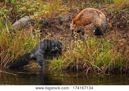 Red Fox (Vulpes vulpes) Drives Silver Fox into the Water - captive animals