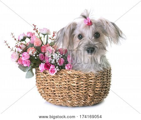 crossbred yorkshire terrier in front of white background