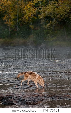 Grey Wolf (Canis lupus) Gets Drink in River - captive animal