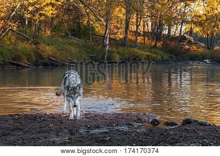 Grey Wolf (Canis lupus) Walks Out of River - captive animal