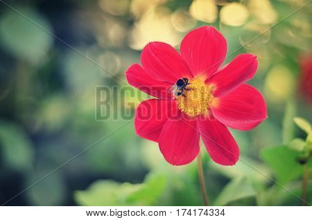 Fluffy striped bumblebee collects nectar sitting on a red beautiful flower