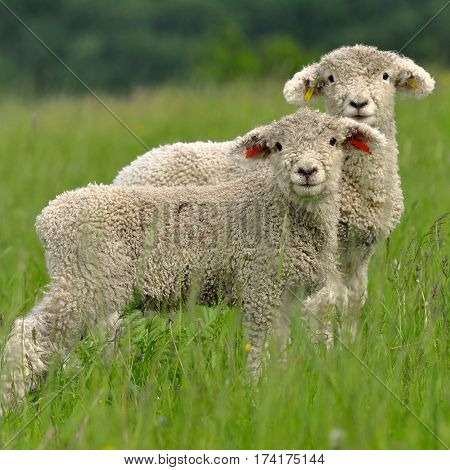 cute young lambs and sheep as a symbor of spring