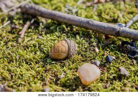 Acorns lying on moss in the forest in the sun. Two fallen acorn.