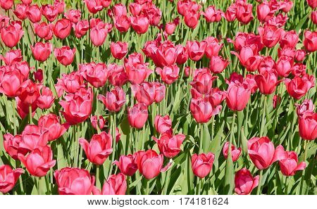 Tulips (Tulipa). The Sort Of