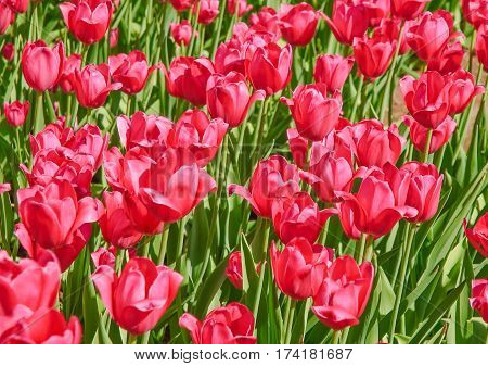 Tulips (Tulipa). The Sort Of