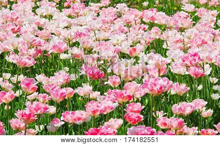 The background of beautiful Terry pink-white tulips