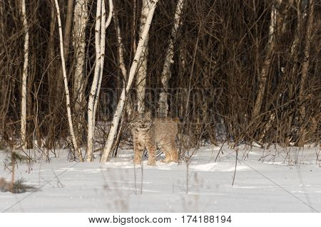 Canadian Lynx (Lynx canadensis) Stands Near Treeline - captive animal