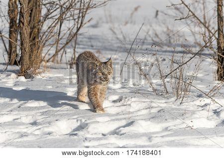 Canadian Lynx (Lynx canadensis) Steps Forward - captive animal