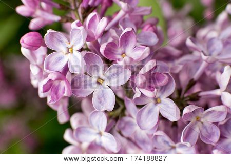 branch with spring lilac flowers close up