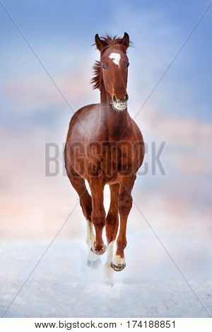 Red beautiful horse run gallop in winter snow field at sunset
