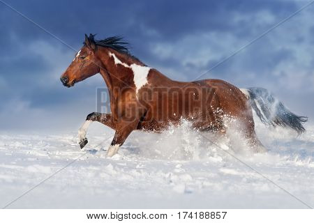 Pinto horse run gallop in winter snow field