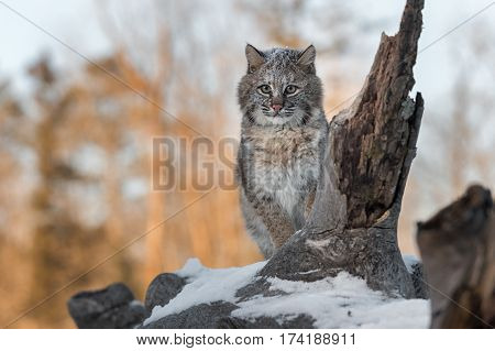 Bobcat (Lynx rufus) With Snow on Her Face - captive animal