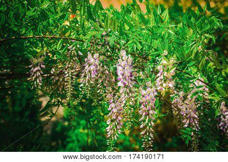 Beautiful acacia flowers in the midle spring season