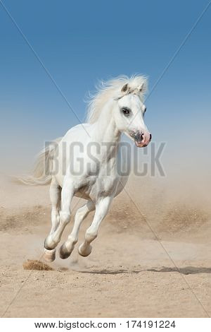 White pony run fast in desert dust