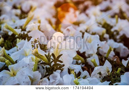 A group of white petunias under the sunlight