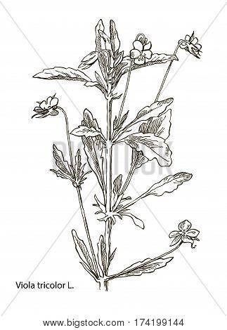 Vector vintage botanical illustration depicting the viola tricolor. Wild grasses and flowers