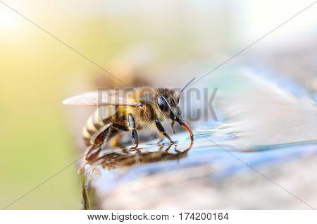 Macro photo bee drinking water. Animals and water