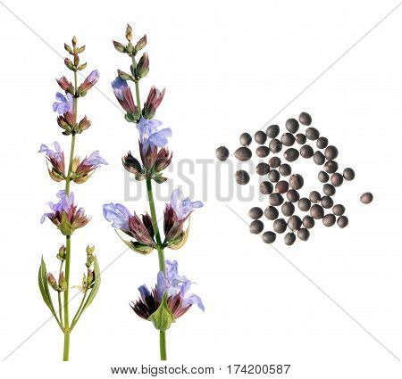 Common sage flower and seeds isolated on white background. Seeds of common sage (Salvia officinalis) on white background