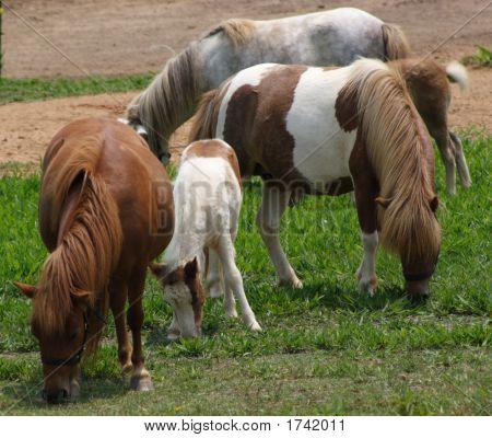 Minature Horses And Babies