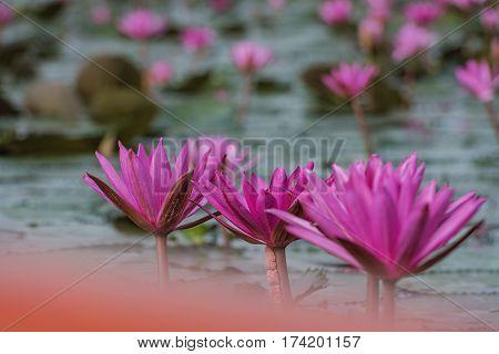 beautiful pink waterlily or lotus flower .