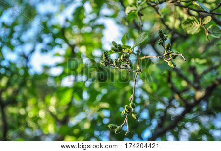 Green Cones And Branches Of Alder Tree On Blurred Background
