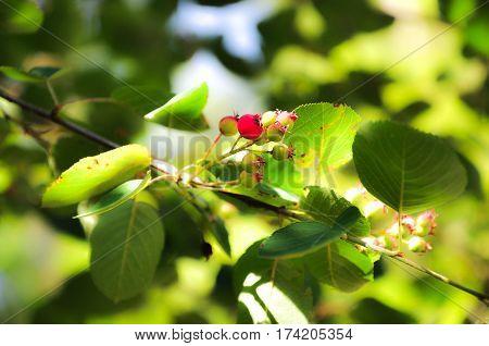Unripe berries of Amelanchier or shadbush. Serviceberries wild plum. poster