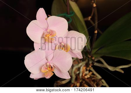Branch of the orchid of pink fowers