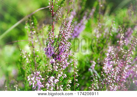 Little Pink Flowers Of Blooming Heather. Spring Closeup Macro Photo