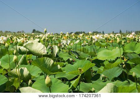 Thickets of Lotus orehonosny (lat. Nelumbo nucifera) is a perennial herbaceous species of amphibians plants of the genus Lotus (Nelumbo) monotypic family of Lotus (Nelumbonaceae) on the lake