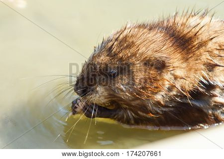 Musquash or musk-rat (lat. Ondatra zibethicus) is a mammal of the subfamily of voles of the rodent - semi-aquatic rodent native to North America domesticated in Eurasia