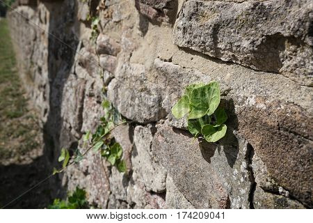 Struggle for survival of a plant on a wall