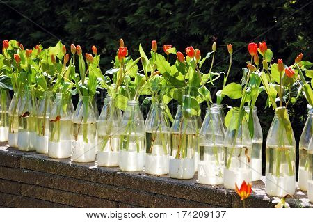 Rows of milk bottles used as flower vase for red tulips the Keukenhof Garden (Lisse Netherlands)