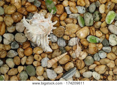 Natural Murex Ramosus shell with another small seashells scattered on the pebble stone ground