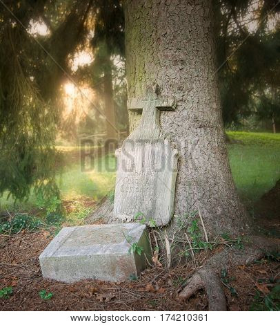 Old perished tombstone resurrected on the tree