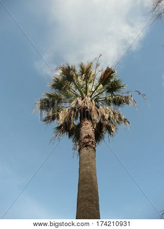 A palm tree is seen from a low angle with pleasant lighting with clouds against a blue sky
