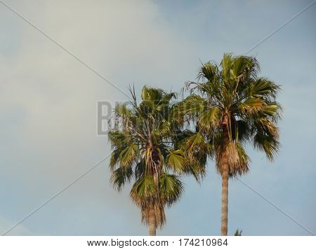 the tops of two palm trees are seen in golden light with a misty looking cloud