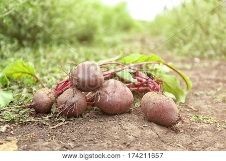 Raw beets lying on the ground in garden
