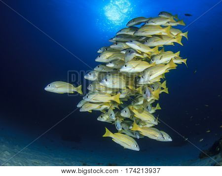 Fish in sea. Snapper fish in ocean. Underwater yellow fish blue water