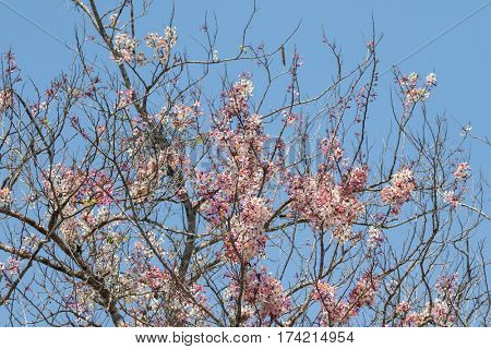 Beautiful Wild Himalayan Cherry, deciduous sour cherry tree blossoming pink sakura flowers against blue sky in Thailand (Prunus cerasoides)