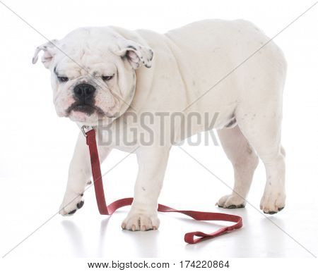 bulldog with funny expression wearing a red leash on white background