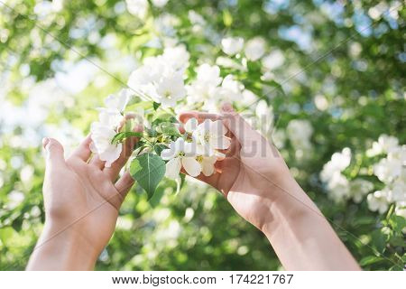 Blossoming apple branch in women's hands. Soft light gentle background.