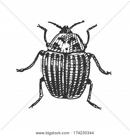 beetle, insect species isolated engraved, hand drawn animal in vintage style old colorado