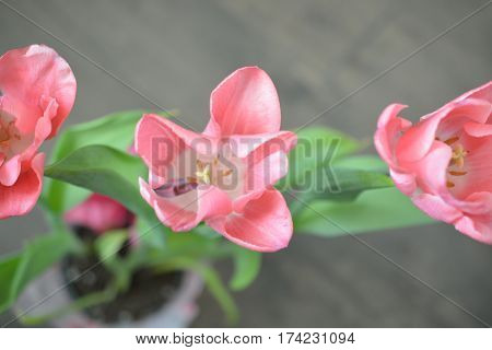 Three pink tulips shown up close in full bloom.