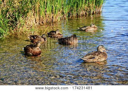 Wild ducks in the shallow water of the lake