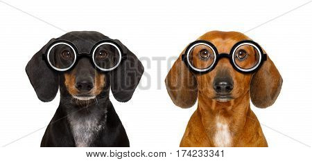 Couple Of Dumb Nerd Silly Dachshunds