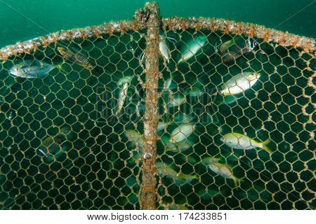 Fish Traped In Fishing Gear Near