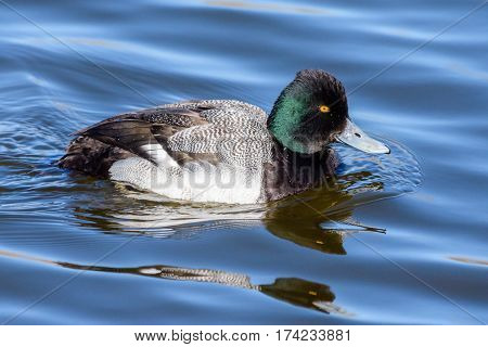 The Greater Scaup is a large diving duck. These ducks breed in the Artic circle. The love lakes ponds and marshes.