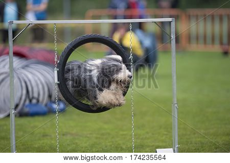 Bearded Collie jumping through an agility hoop. He has long coat and looks very happy to pleased his owner with good work.
