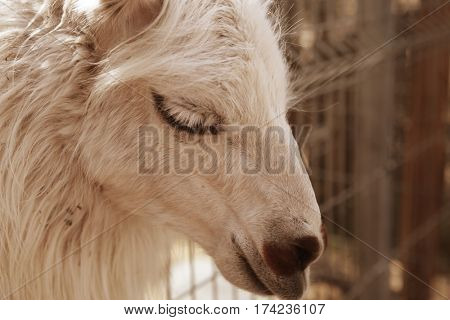 Head of young smiling goat